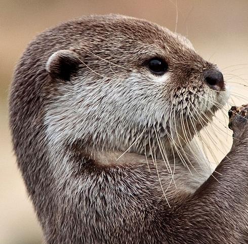 The Praying Otter
