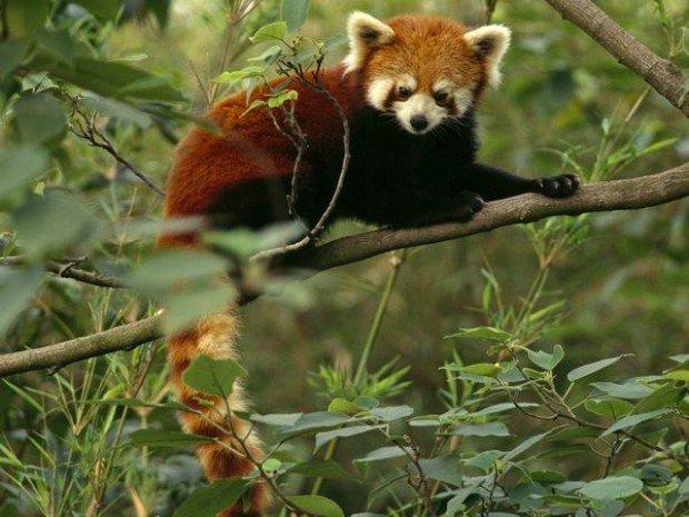 red panda firefox