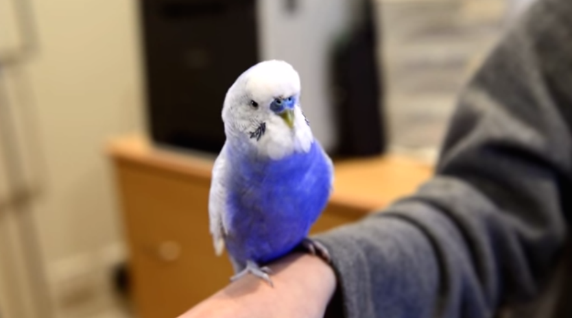 This Bird Sounds and Looks Like R2-D2! [Video]