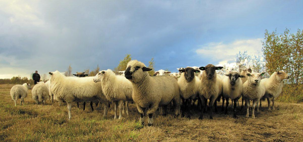 sheep-saying-bah-image